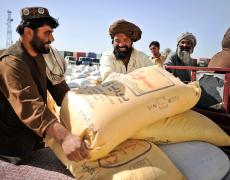 Farmers collecting wheat seed in Helmand